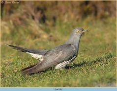 cuckoo-126.jpg