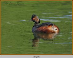 black-necked-grebe-08.jpg