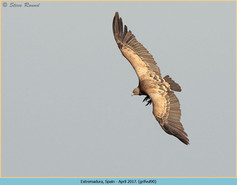 griffon-vulture-90.jpg
