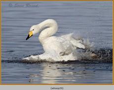 whooper-swan-29.jpg