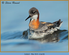 red-necked-phalarope-18.jpg