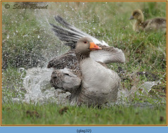 greylag-goose-32.jpg
