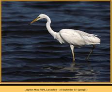 great-white-egret-11.jpg