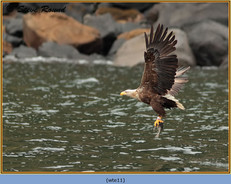 white-tailed-eagle-11.jpg