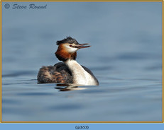 great-crested-grebe-53.jpg
