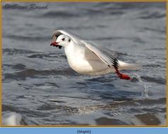 black-headed-gull-66.jpg