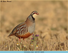 red-legged-partridge-30.jpg