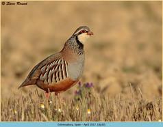 red-legged-partridge-30.jpg
