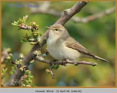 willow-warbler-18.jpg