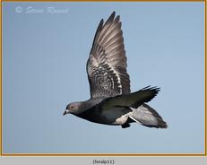 feral-pigeon-11.jpg