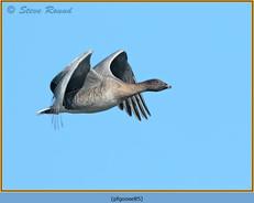 pink-footed-goose-85.jpg
