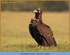 black-vulture-26.jpg