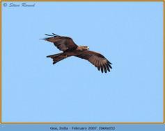 black-kite-05.jpg
