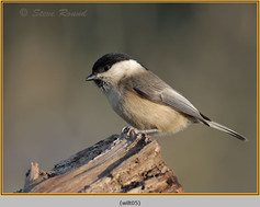 willow-tit-05.jpg
