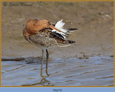 black-tailed-godwit- 75.jpg