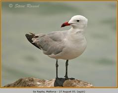 audouin's-gull-18.jpg