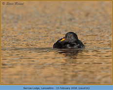 common-scoter-16.jpg