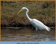 great-white-egret-42.jpg