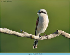 red-backed-shrike-03.jpg