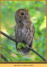 tawny-owl-01.jpg