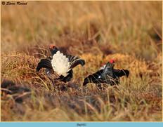 black-grouse-101.jpg