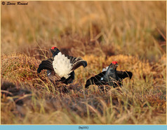 black-grouse-101.jpg