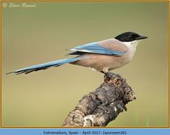 azure-winged-magpie-36.jpg