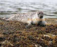 common-seal-04.jpg