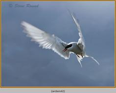 arctic-tern-42.jpg