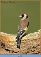 goldfinch-59.jpg