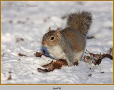 grey-squirrel-19.jpg