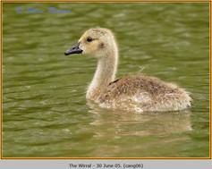 canada-goose-06.jpg
