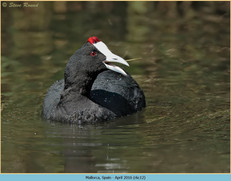 red-knobbed-coot-12.jpg
