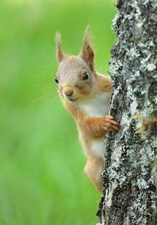 red-squirrel-1.jpg