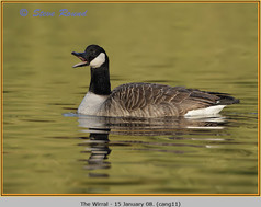 canada-goose-11.jpg