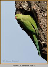 ring-necked-parakeet-07.jpg