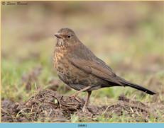 blackbird-86.jpg