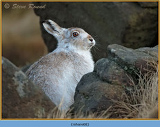 mountain-hare-08.jpg