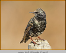 starling-15.jpg