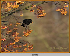 blackbird-51.jpg