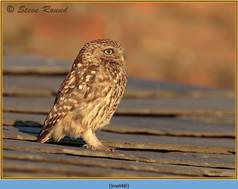 little-owl-48.jpg