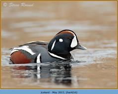harlequin-duck-16.jpg