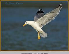 yellow-legged-gull-11.jpg