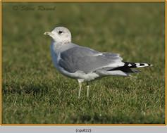 common-gull-22.jpg