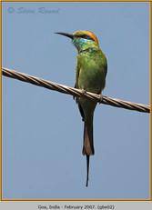 green-bee-eater-02.jpg
