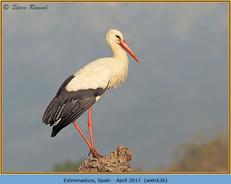 white-stork-36.jpg