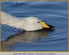 whooper-swan-05.jpg