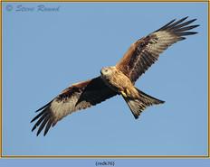 red-kite-76.jpg