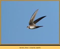 alpine-swift-04.jpg