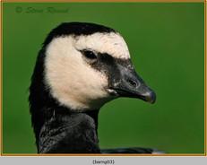 barnacle-goose-03.jpg